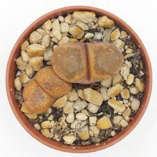 Ophthalmophyllum f. verrucosum sidi-barrani – 5,5 cm1