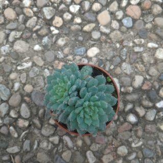 Echeveria rundelli – 5,5 cm alto