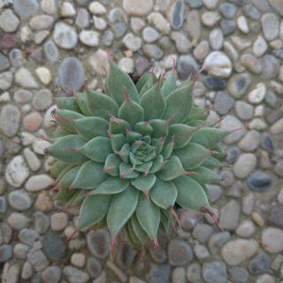 graptopetalum filiferum – 5,5cm2